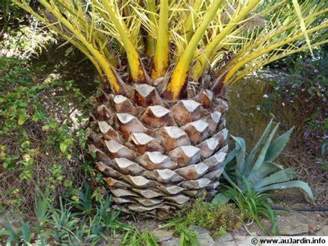 fruit d un palmier la taille des palmiers