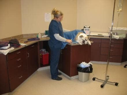 dog c section recovery bulldog c section surgery with pictures
