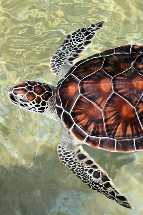 25 best ideas about sea turtles on turtle