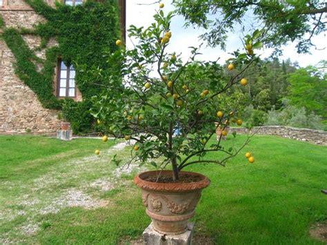 limoni in vaso inverno un vaso di limoni nel giardino foto di villa buoninsegna