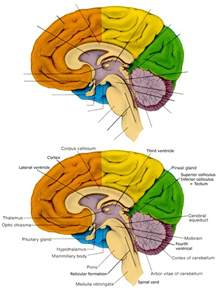 sagittal section of the brain medial view leopoldmarin s