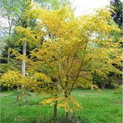 acer palmatum katsura japanese maple tree buy dwarf