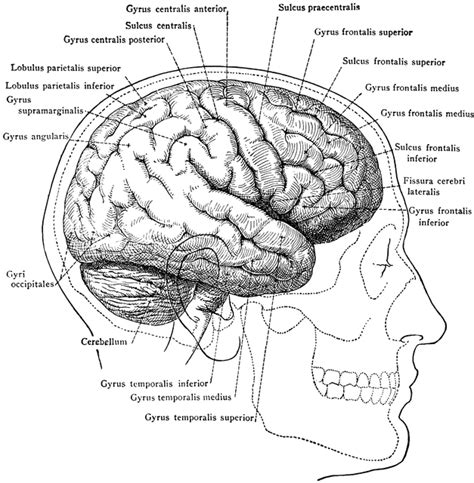 skull parts diagram brain in relation to skull and clipart etc