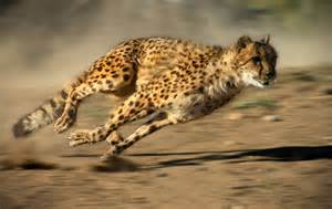 How Many Can A Jaguar Run To Kill Cheetahs Use Agility And Acceleration Not Top Speed
