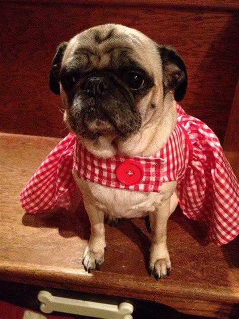 pug wedding dress pets pug or small gingham dress 2263278 weddbook
