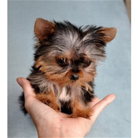teacup yorkies for sale micro teacup yorkie puppies for sale s closet king polyvore