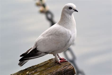 free photo dove bird animal freiburg free image on