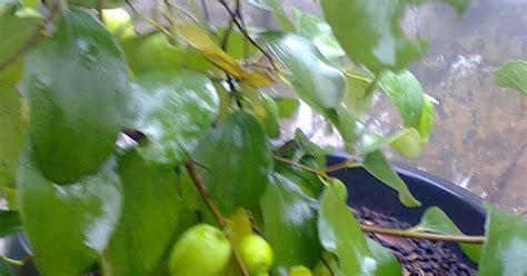 Bibit Jahe Merah Purwokerto tanaman buah dalam pot tabulot