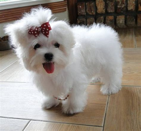 teacup maltese puppy teacup maltese puppies for sale pets for sale in the uk