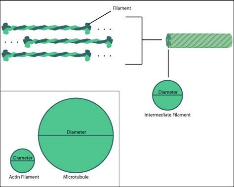 filament diagram biobook leaf how do intermediate filaments help cells