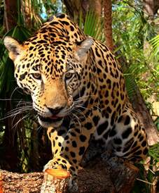 Who Are The Jaguars File Junior Jaguar Belize Zoo Jpg