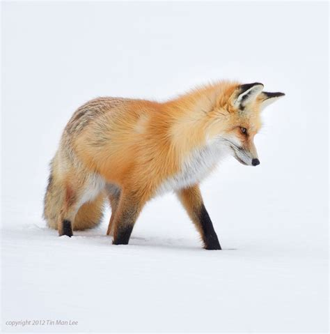 the man red fox 607 best furry little foxes images on foxes animal kingdom and red fox