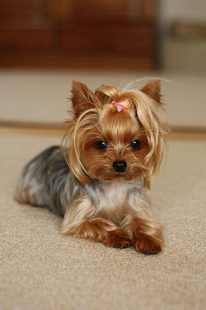 haircuts for toy yorkies pin by sylvia pere on photos i love pinterest yorkies