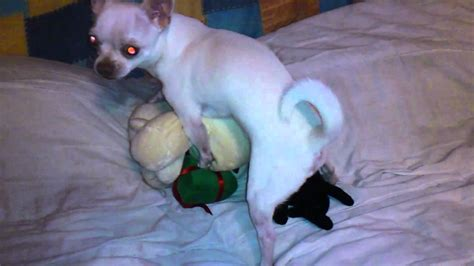 hump toys for dogs chihuahua