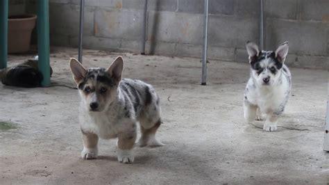 horgi puppies horgi puppies for sale puppies