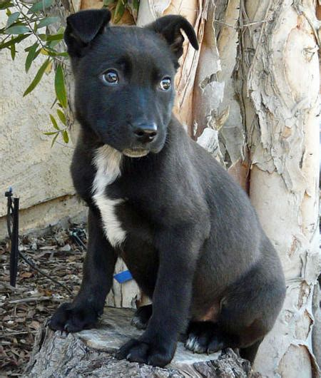 german shepherd and pitbull mix puppies black german shepherd pitbull mix puppies puppies and kittens pitbull