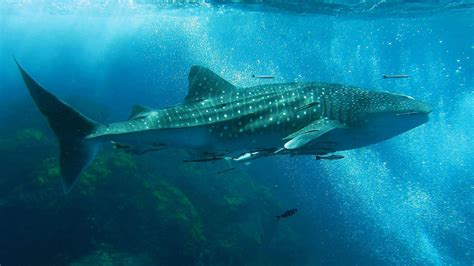 dive with whale sharks the whale shark in thailand whaleshark diving in thailand