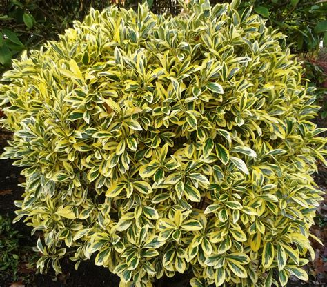 heidi s december plant pick golden euonymus my sweet