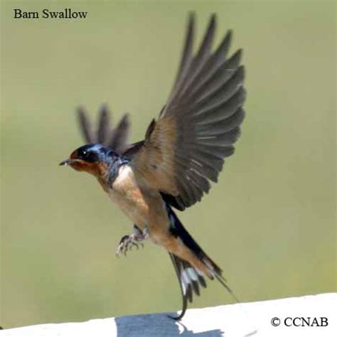 swallows north american birds birds of north america