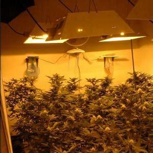 marijuana   marijuana plant yield