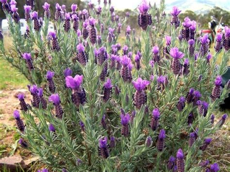lavender pictures photos information images of plants science for kids