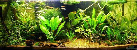 echinodorus tenellus di pot aquarium swantje thalmann 22029 vidaviva