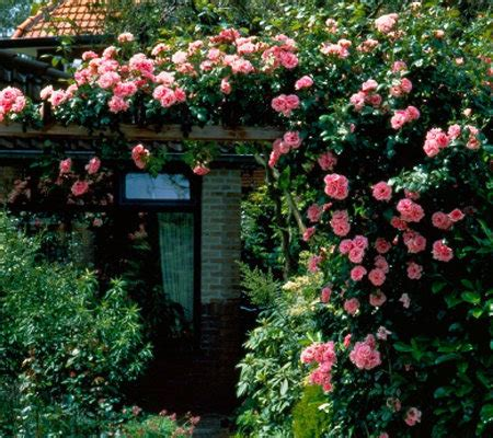 cottage farms 2 piece climbing zephrine droughin roses