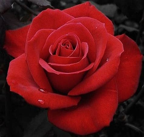 gambar gambar bunga mawar yang indah apps directories