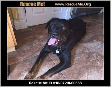 rottweiler rescue ma massachusetts rottweiler rescue adoptions rescueme org