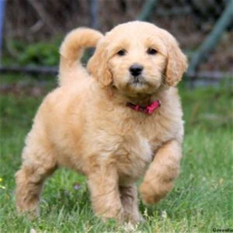 goldendoodle puppies for sale ta goldendoodle puppies for sale in pa greenfield puppies