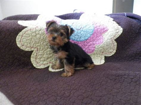 puppies for sale in college station best 25 terrier for sale ideas only on teacup terrier