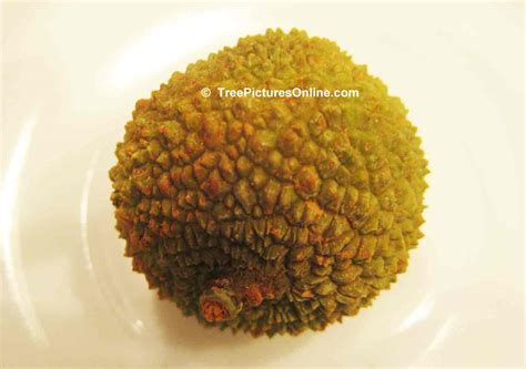lychee fruit inside litchi tree pictures photos images facts on lychee trees