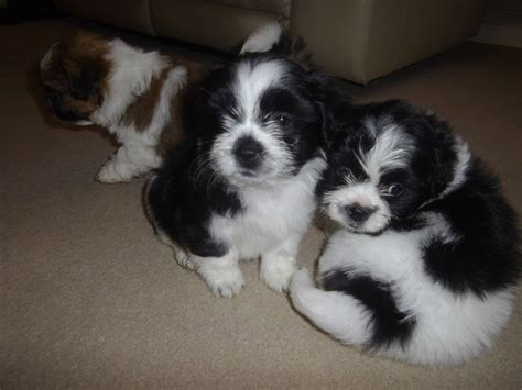 shih tzu puppies for sale in surrey 4 adorable shih tzu puppies for sale cranleigh surrey pets4homes