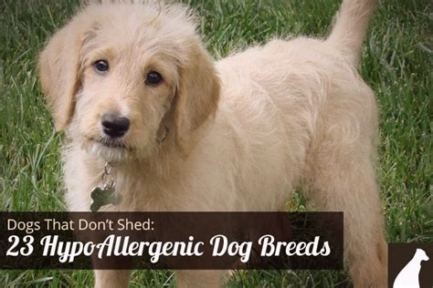 Hypoallergenic Non Shed Dogs by Hypoallergenic Breeds Dogs Cats And Elephants Oh