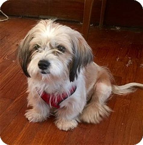 shih tzu st louis st louis mo shih tzu terrier unknown type small mix meet lydia a for adoption