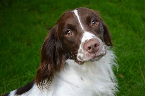 spaniel puppy springer spaniel for sale rochester kent pets4homes