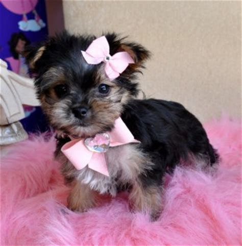 morkie puppies for sale in illinois teacup morkie puppies for sale in illinois breeds picture