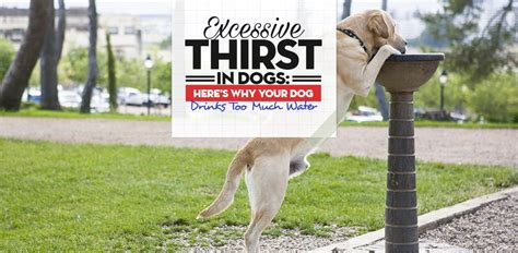 excessive thirst in dogs excessive thirst in dogs 8 reasons why drinks much water