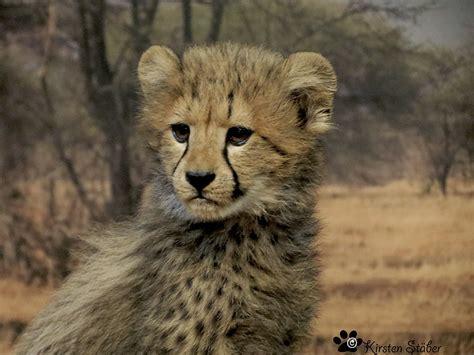 geparden afrikas faszinierende raubkatzen geparde