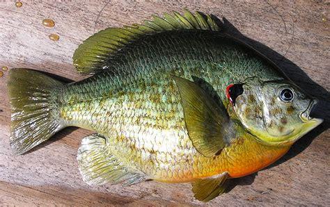 Land Plots For Sale by Shellcracker Redear Replica Fishingbuddy