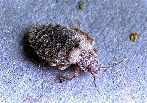 different types of bed bugs are there different types of bed bugs facts about bed