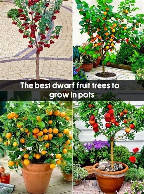 miniature fruit trees 25 unique trees ideas on lilac