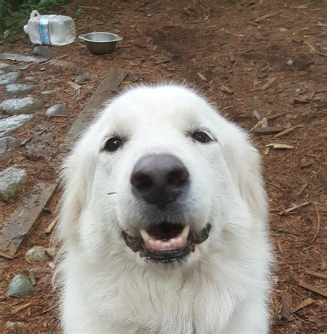 great pyrenees rescue provides wonderful dogs to good homes taratoo s web page