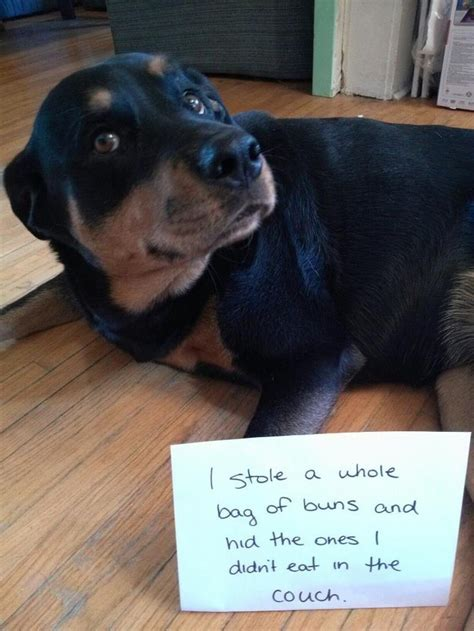 scary rottweiler 17 reasons why rottweilers make the worst pets viral slacker