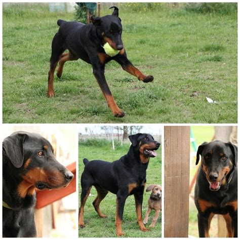 rottweiler doberman mix rotterman a rottweiler doberman mix best my creatures