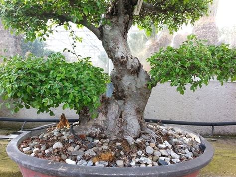 vasi bonsai cinesi piante bonsai attrezzi e vasi per bonsai come