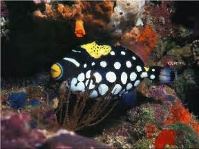 Clown Trigger Fish1