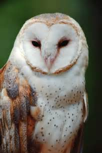 owl hd wallpapers pictures images backgrounds photos