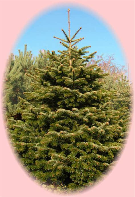 nordman fir christmas tree northern ireland ni