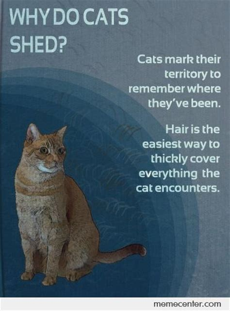 Why Do Cats Shed by Why Do Cats Shed By Ben Meme Center